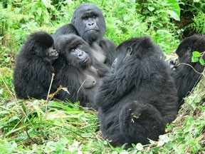 Band of gorilla