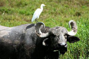 cattle-egret-1
