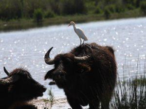 cattle-egret-2
