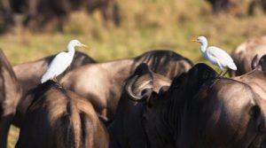 cattle-egret-3