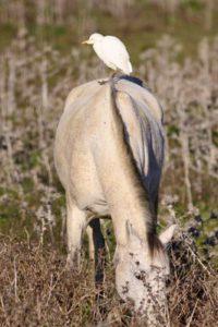 cattle-egret-4