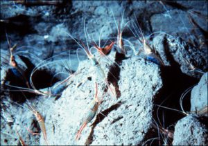 cleaner-shrimp-4