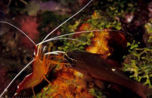cleaner-shrimp6