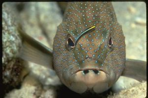 cleaner-wrasse5