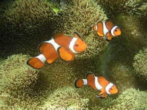 clonefish2