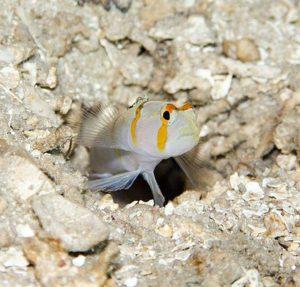 pistolshrimp3