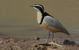 plover-bird